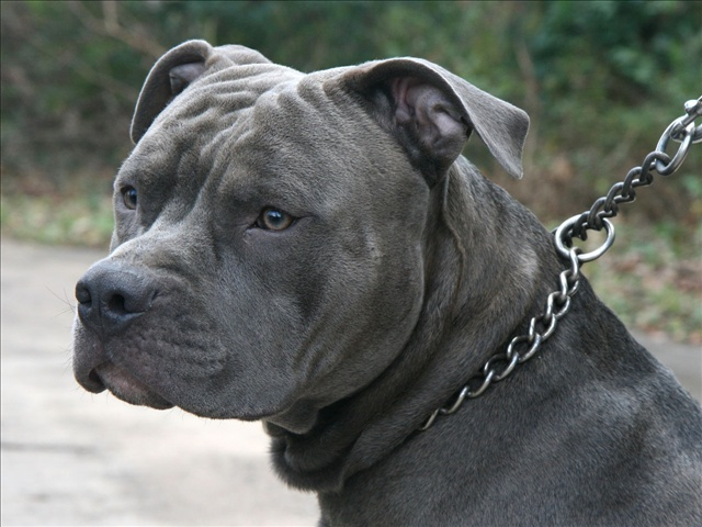 Pit bull on a chain. Courtesy: Ildar Sagdejev / Wikimedia , Photo Date: November 2011