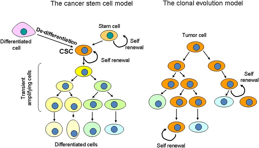 Cancer stem cell model