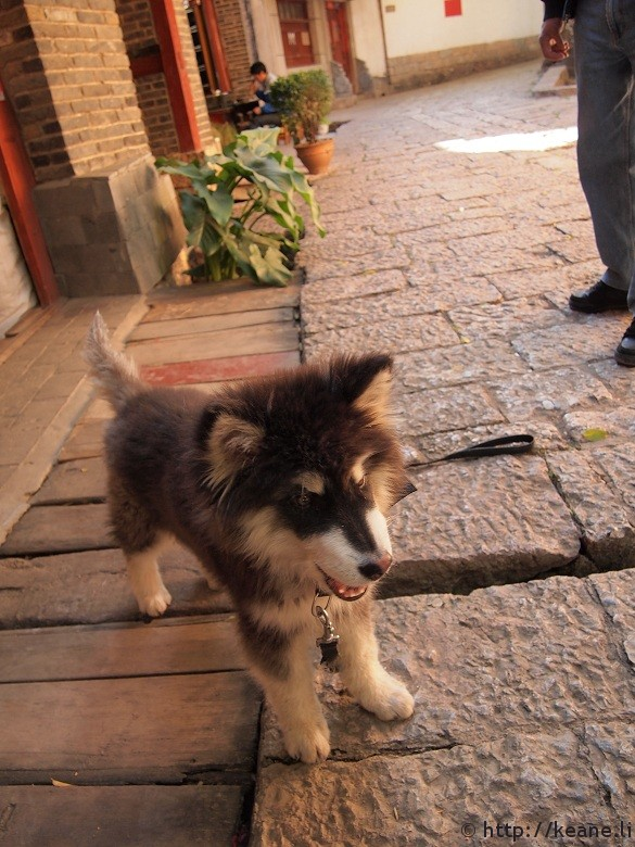 Cute fluffy husky puppy in Lijiang Old Town