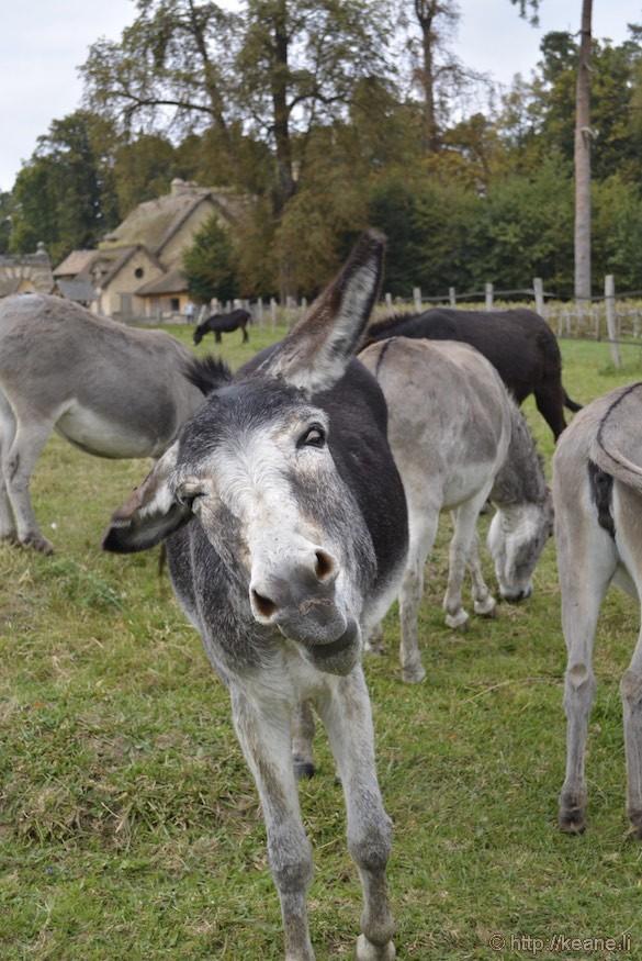 Versailles Gardens - Donkeys