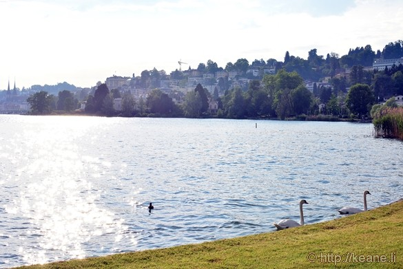 Swans in Lake Lucerne