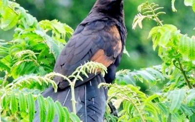 Burung Dengan Suara Yang Menyeramkan