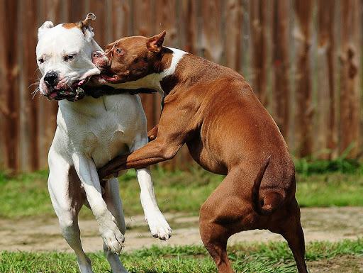 مراهقون يستغلون الكلاب الضخمة في نشاط خطير يهدد حياة ساكنة بمراكش