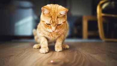 Photo of Kedileri Lazerle Oynatmak Sandığınız Kadar İyi Bir Şey Olmayabilir!