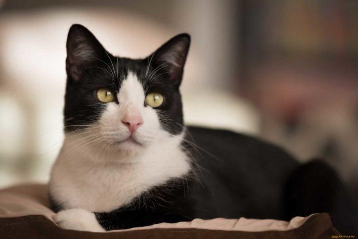 kisa-tuylu-smokin-kedi