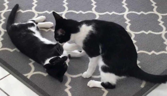 smokin-kedi-evcil-hayvanlarla-anlasabilir-mi