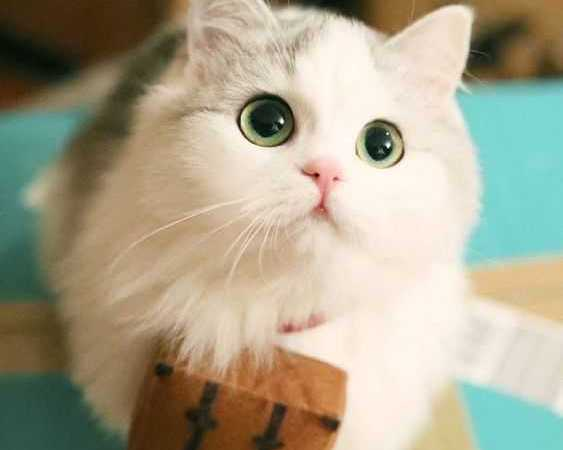 Dünyadaki Tuhaf Kedi Cinsleri