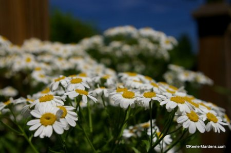 An abundance of white and yellow flowers.