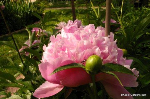Peonies in bloom at Keeler Gardens.
