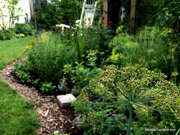 Harvesting dill seed while enjoying the garden.
