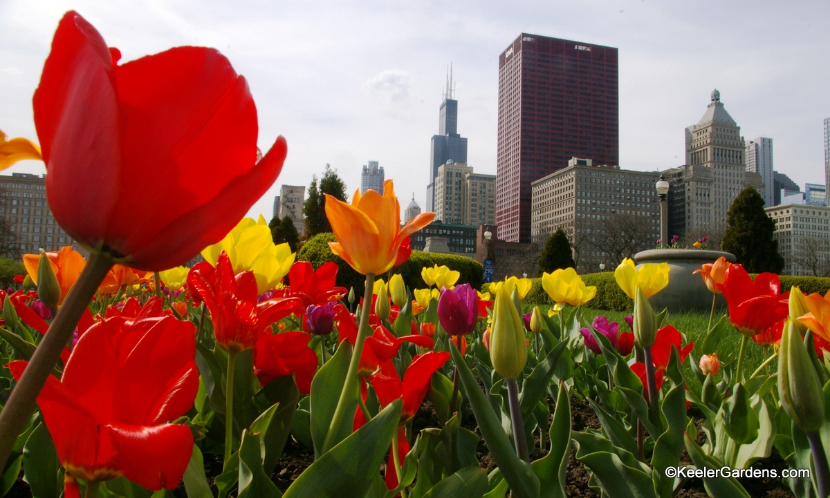 Viewing from the perspective of an ant on the ground we look through what appears to be a giant forest of tulips of a rainbow of colors. The tulips in the foreground seem to match the Chicago Skyline behind with the Sears Tower prominently anchoring the buildings.