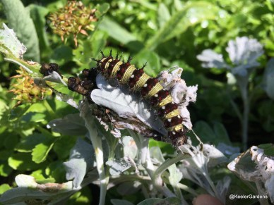 A black and yellow striped caterpillar is stretched out on a greyish plant in the center foreground. The black stripes are white and red spotted and have black bristles or spines protruding from them, while the yellow stripes are marked with tiny black pinstripes.