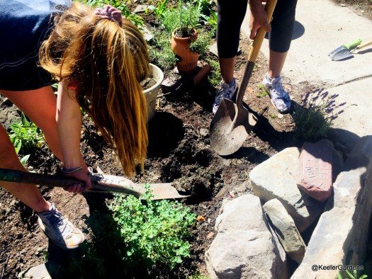 Two interns, seen from slightly above, one bending down on the left side of the picture removing a shovelful of dirt, and one standing at the top right with only her legs visible holding a shovel, are digging a large hole to plant a rosebush next to an ornamental rock feature. The clay soil appears gray and chunky as the sun is beating down on the working interns. The soil appears gray and chunky, and the sun is beating down on the working interns.