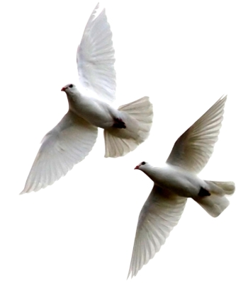 2 Doves in flight