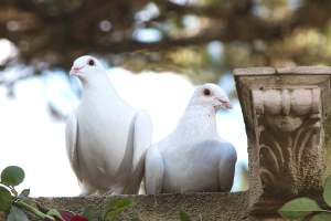 Dove Release at Funerals