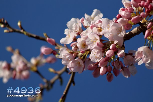 Cherry-Blossoms-in-High-Park-2