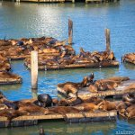 The Stinky But Cute Sea Lions at Fisherman's Wharf