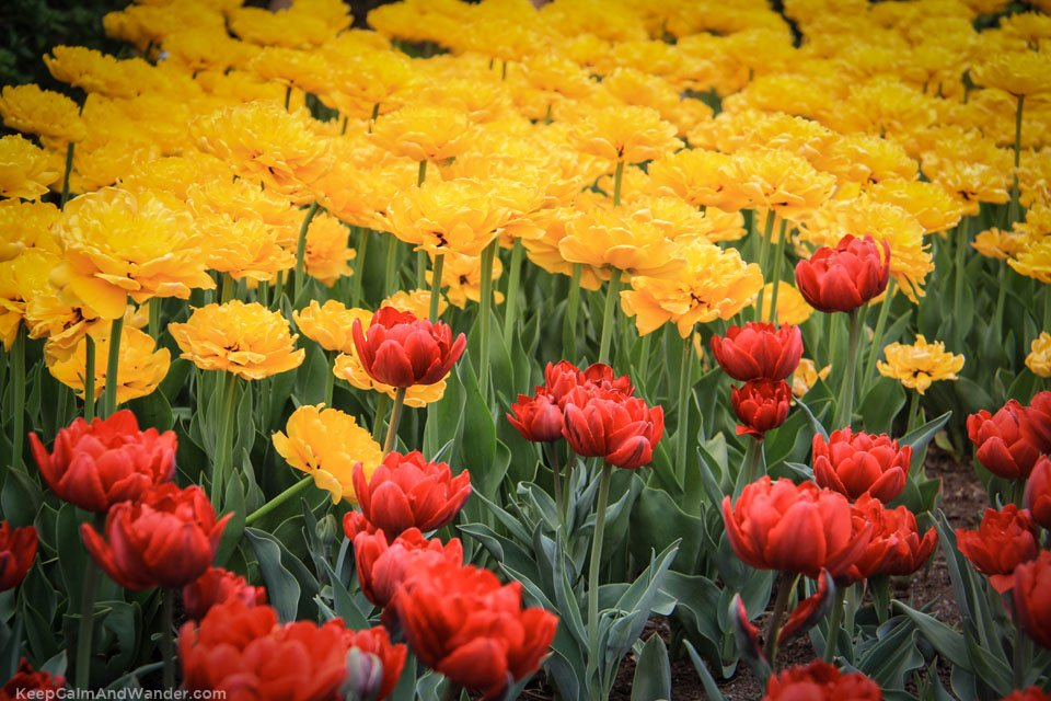 Tulip Festival in Ottawa - Gatineau is on May 8-18, 2015.