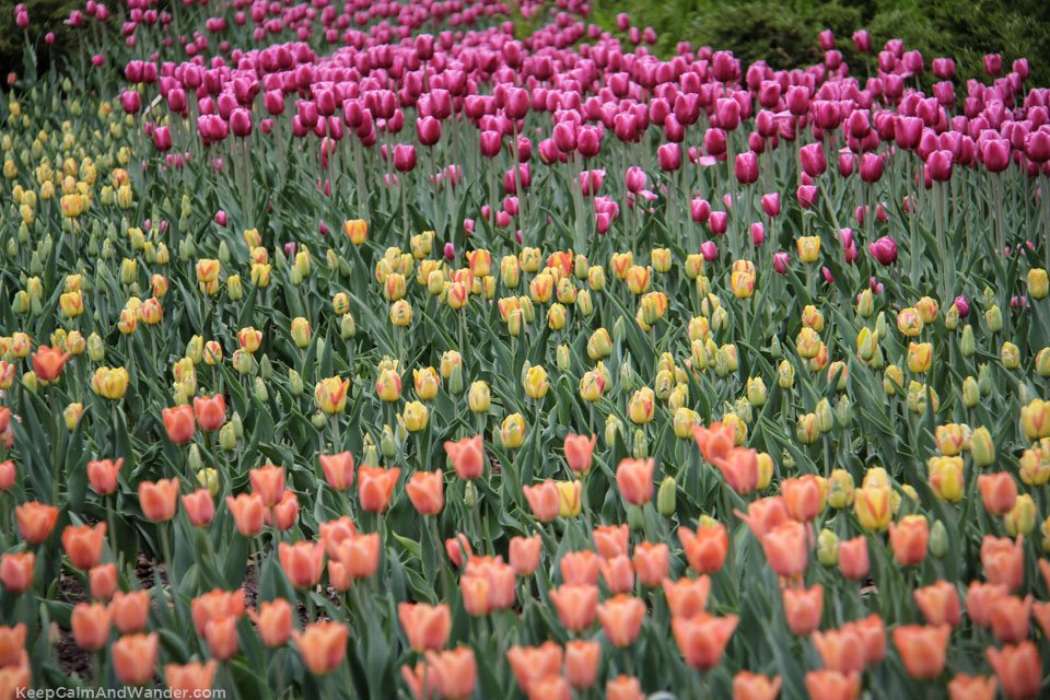 Tulip Festival in Ottawa 2015 is a dazzling show of colours.