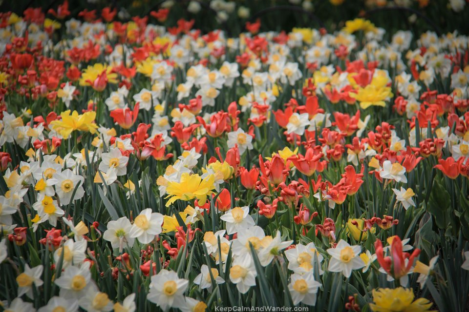 The 2015 Tulip Festival in Ottawa is a dazzling show of colours.