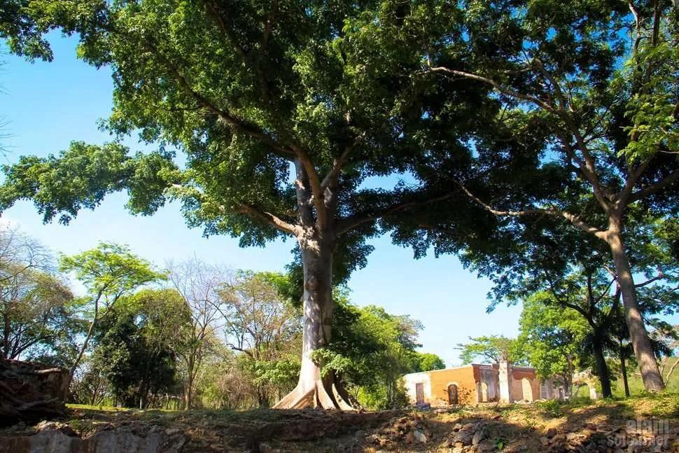 Ceiba Tree Trinidad Cuba