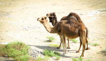 My Camel Visitors.
