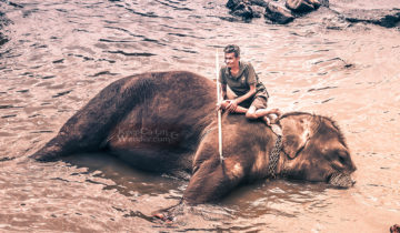 The State of the Elephants at Pinnawala Elephant Orphanage in Sri Lanka