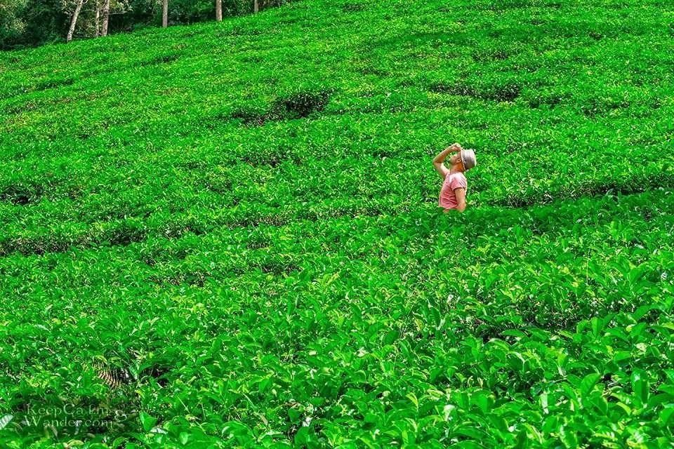 8 Days in Sri Lanka Itinerary (Blue Field Tea Plantation)