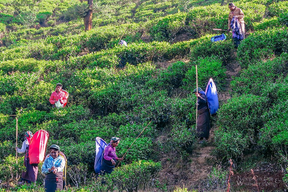 The Stunning Pedro Tea Estate in Nuwara Eliya (Sri Lanka).