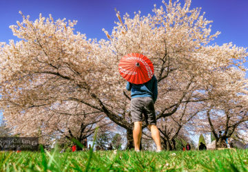 Canada Travel Blog Cherry Blossom Festival Vancouver - Q. Elizabeth Park.