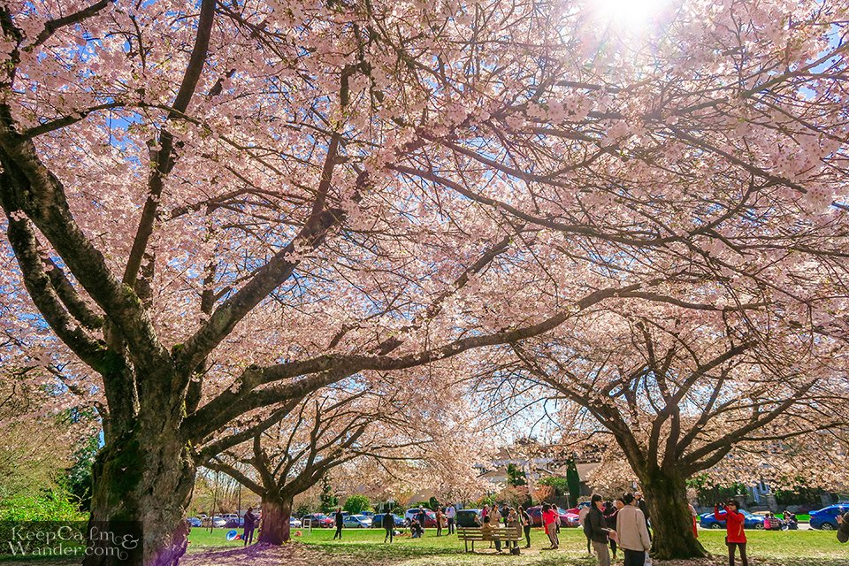 Vancouver cherry blossoms at Park Queen Elizabeth in Vancouver