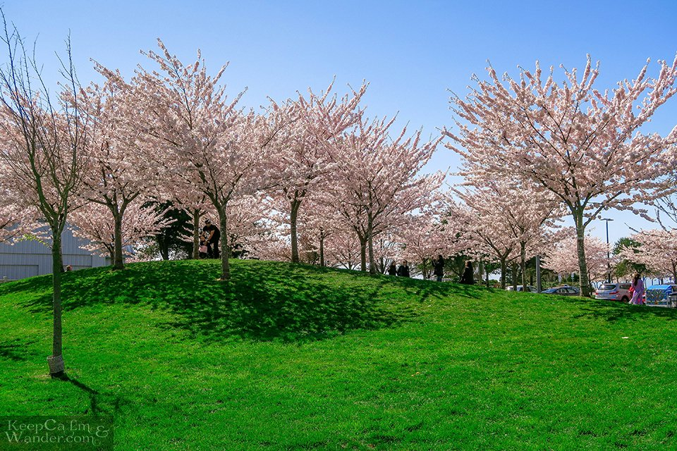 Spring Quote Margaret Atwood Cherry Blossoms Vancouver