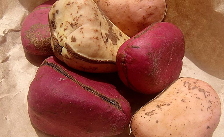 Top 5 Health Benefits of Kola Nut! -Keep Fit Kingdom