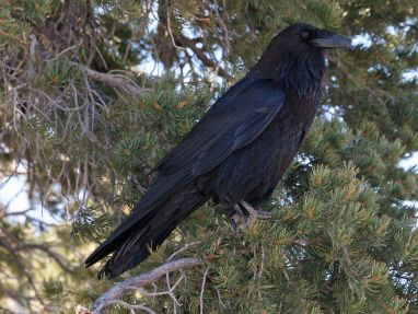 Common raven, Corvus corax. Photo: Dick Daniels, Wikimedia Commons, CC BY-SA 3.0)