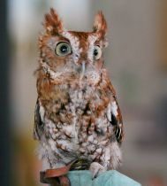 Eastern screech-owl, Megascops asio. Photo: Dick Daniels, Wikimedia Commons, (CC BY-SA 3.0)