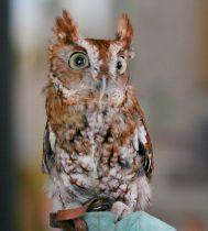 Eastern screech-owl, Megascops asio. Photo: Dick Daniels, Wikimedia Commons, (CC BY-SA 3.0)