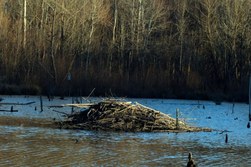A beaver lodge in a beaver pond at McAlpine Creek Greenway Park. Photo: Nancy Pierce