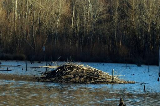 A beaver lodge in a beaver pond at McAlpine Creek Greenway Park. Photo: Nancy Pierce