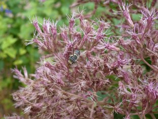 Joe-Pye weed is a perennial flower attractive to butterflies. Plants that nurture insects can help sustain birds, which eat insects. Photo: Ruth Ann Grissom