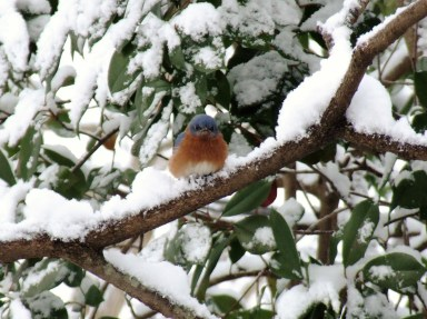 The Eastern bluebird population has rebounded, and they can be frequent backyard visitors. Photo: Ernie McLaney