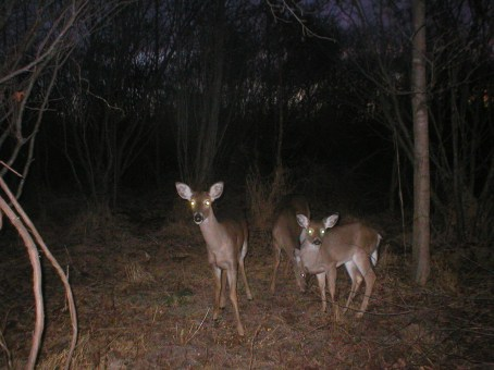 Cameras along greenway trails capture wildlife at night, like this herd of deer. Photo: Mecklenburg County Park and Recreation Department