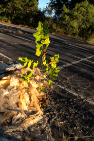 Sycamore nurtured by a trash pile. Photo: Meredith Hebden