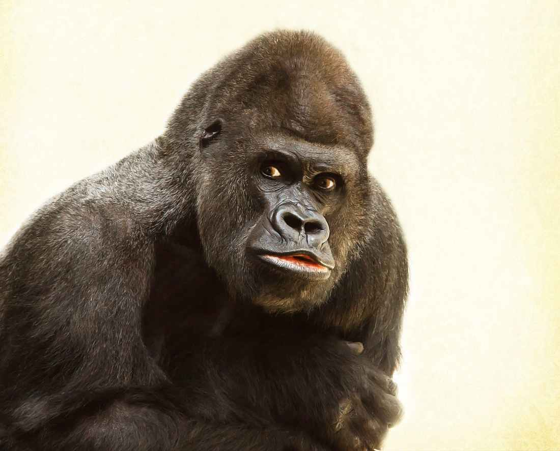 gorilla-silverback-animal-silvery-grey-39571