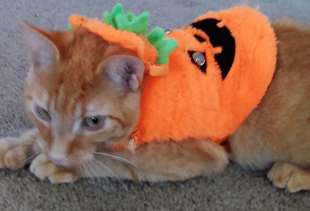 pumpkin-benji
