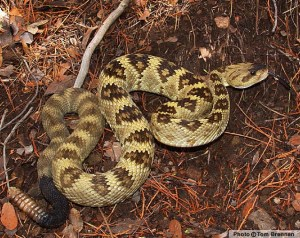 black-tailed_rattlesnake