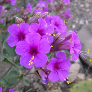 Mirabilis-multiflora