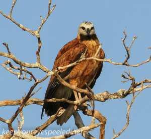 Black Collared hawk 1 (9 of 10)