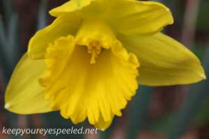 Crocus and daffodil (16 of 21)