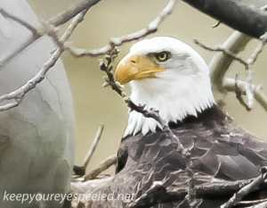 bald eagle 4 (1 of 1)