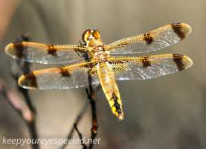 Broad Mountain dragon fly (42 of 44)